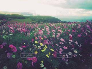 大きな紫色の花は草に立っています。の写真・画像素材[1508094]