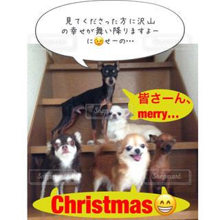 犬,冬,チワワ,クリスマス,ミニチュアピンシャー,家族写真