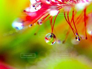 食虫植物の写真・画像素材[825890]