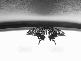 羽化したての蝶の写真・画像素材[826002]