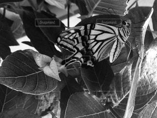 アゲハ蝶の写真・画像素材[826020]