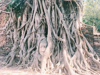タイの木に埋まった仏頭の写真・画像素材[797769]