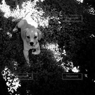 こちらを見る犬の写真・画像素材[818835]