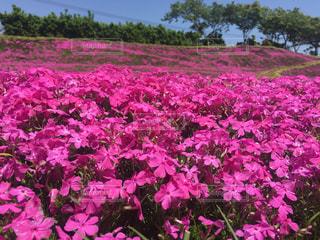 辺り一面の芝桜の写真・画像素材[842955]