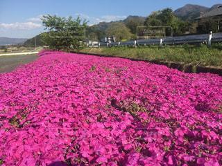 阿蘇で見つけた芝桜畑の写真・画像素材[877566]