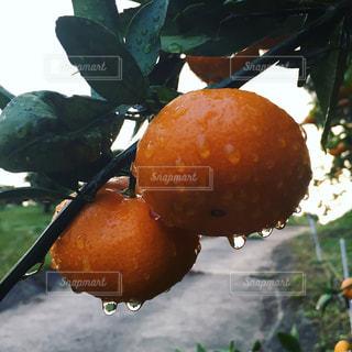 スイーツ,フルーツ,果物,みずみずしい,みかん,雨上がり,畑,しずく,農園,みかん畑,みかん狩り