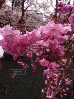 桜の写真・画像素材[812416]