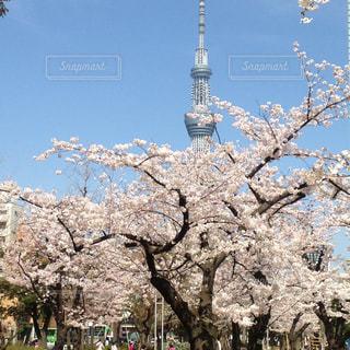 桜,スカイツリー,隅田公園,2017年3月,日本の花景色