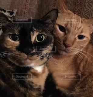 猫🐈仲良し兄妹の写真・画像素材[836803]