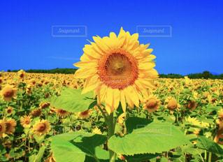 ひまわり畑の元気印🌻の写真・画像素材[812445]