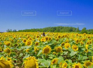フィールド内の黄色の花の写真・画像素材[812450]