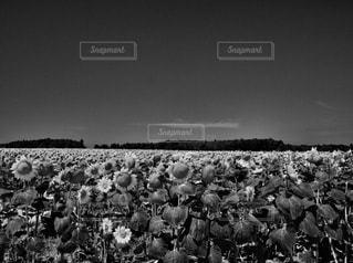 北竜町のひまわり畑の写真・画像素材[828367]