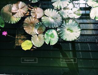 雨,緑,水,葉っぱ,水たまり,池,蓮,梅雨,蓮の葉
