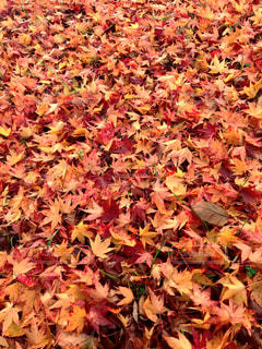 自然,秋,紅葉,赤,カラフル,きれい,枯れ葉,黄色,もみじ,オレンジ,落ち葉,色とりどり,青森,十和田湖,11月,キレイ,秋真っ盛り