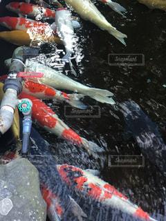 水から飛び出す魚の写真・画像素材[980084]