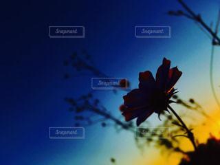 秋桜の写真・画像素材[795581]