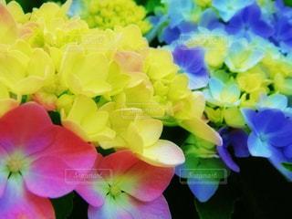 紫陽花の写真・画像素材[807590]