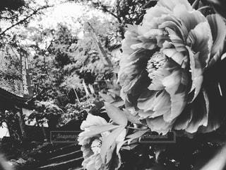 芍薬の花の写真・画像素材[815580]