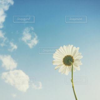マーガレットと空の写真・画像素材[1100081]