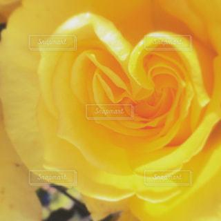 自然,花,バラ,ハート型,ハート,黄色のバラ