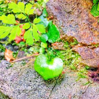 ハート型の葉っぱの写真・画像素材[1157710]