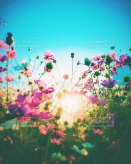 秋,花畑,コスモス,カラフル,フラワー,日差し,景観,新潟県,草木,お出かけ,インスタ映え,コスモスの日