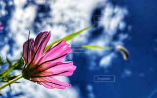 コスモスと青空の写真・画像素材[1454362]