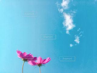 自然,花,花畑,コスモス,カラフル,青空,フラワー,新潟県,草木,お出かけ,インスタ映え,コスモスの日
