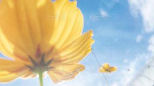 自然,空,花,秋,コスモス,雲,秋空,新潟県,秋フォト