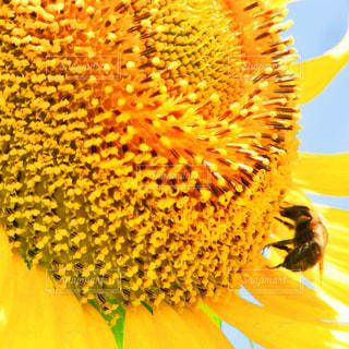 自然,花,夏,屋外,ひまわり,フラワー,黄色,蜂,flower,イエロー,ハチ