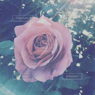 バラの写真・画像素材[2834699]