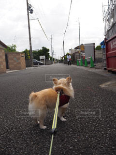 茶色と白の犬が通りを歩いての写真・画像素材[1187972]