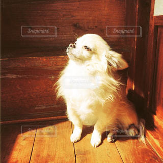 木製の床の上に座っている犬の写真・画像素材[1205559]