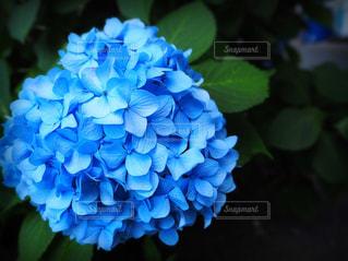 自然,花,雨,屋外,緑,あじさい,青,散歩,景色,紫陽花,ブルー,ナチュラル,休日,梅雨,ハイキング,のんびり,blue,草木,お出かけ,アジサイ