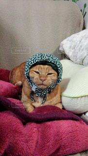 泥棒猫 ベットの上の茶トラの🐯雄の被り物の写真・画像素材[2731116]