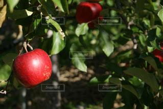 枝の上に座って赤いリンゴ - No.848100