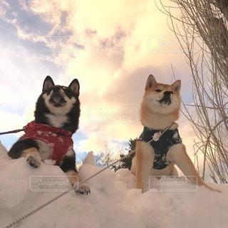 柴犬の写真・画像素材[23936]