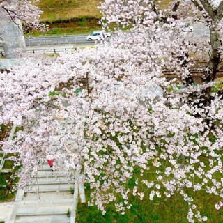 桜,ピンク,お花見,宮城県,さくらまつり,一目千本桜,大河原町