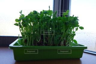 食べ物,屋内,緑,窓,葉,野菜,食品,窓際,栽培,食材,豆苗,フレッシュ,ベジタブル,ガーデン,トレー