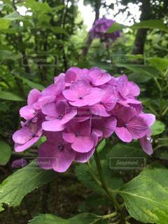 赤紫のあじさいの写真・画像素材[815921]