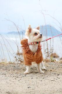 砂浜のビーチで横になっている茶色と白犬の写真・画像素材[973642]