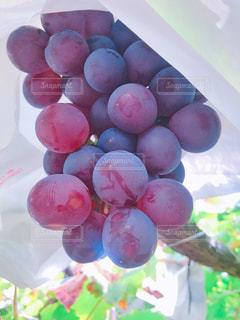 食べ物,紫,フルーツ,果物,果実,山梨,ぶどう狩り,ぶどう