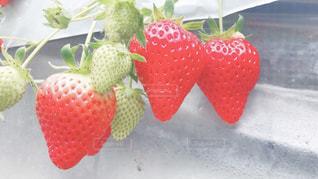 食べ物,いちご,苺,フルーツ,果物,果実,苺狩り