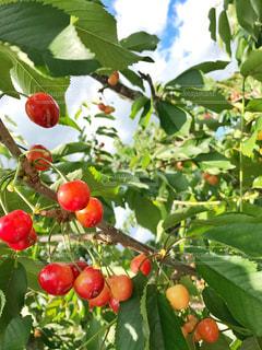 食べ物,自然,木,植物,フルーツ,果物,さくらんぼ,さくらんぼ狩り