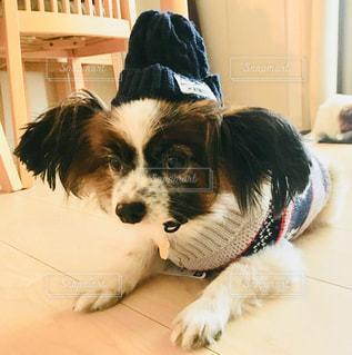 冬,帽子,パピヨン
