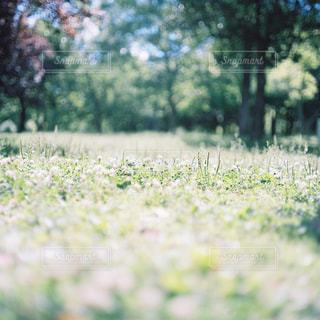 シロツメクサの写真・画像素材[1239951]