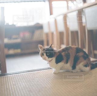 カメラを見ている猫の写真・画像素材[1271297]