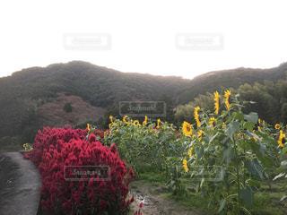 ★秋に咲くひまわりと色づき始めた山々★の写真・画像素材[869045]
