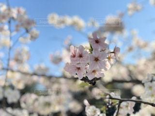 空,花,春,屋外,草木,桜の花,舞鶴公園,さくら,福岡県,ブロッサム
