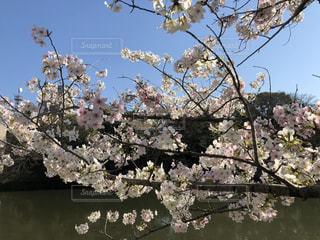 空,花,春,屋外,水辺,堀,桜の花,舞鶴公園,さくら,福岡県,お堀と桜